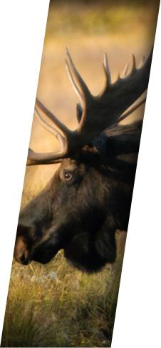 Hunting - Moose